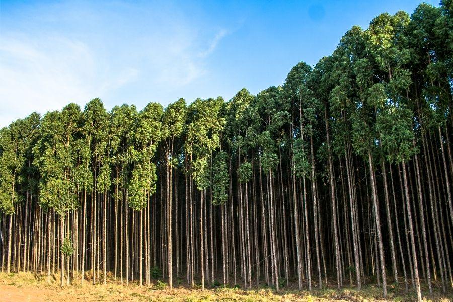 evkaliptus-drevo